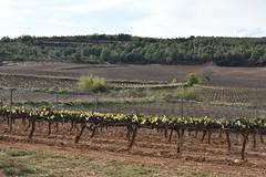 Les Planes i Bosc Cabrer (esta_ahi) Tags: santmartísarroca penedès barcelona spain españa испания vinya viña viñedo vineyard vitisvinifera