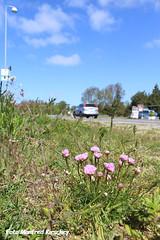 Blumen-am-Straßenrand (manfredkirschey) Tags: rømø römö nordsee insel impressionen dänemark danmark urlaub unterwegs reise reisebericht
