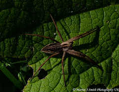 Spider-20-05-2019 (Martin J Smith Photography UK) Tags: 2019 spider macro leaves green brown legs