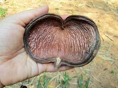 IMG_9188 hazel sterculia (belight7) Tags: big pod tree lalbagh bangalore india park gardens
