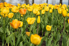 Tulip Blossom (twomphotos) Tags: montreal quebec qc canada urban life tulip yellow nature flower