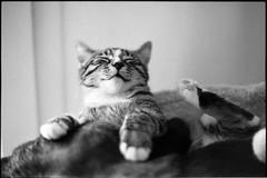 img316 (nicolasmathieudosiere) Tags: ishootfilm filmisnotdead cats catsonfilm chats bnw ilford blackandwhite minolta x700 oldcamera indoor home 35mmslr 50mm17 hp5 plus