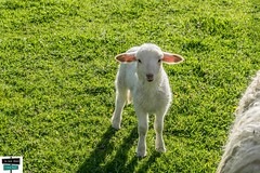 Agneau - Vallée de Barétous (https://pays-basque-et-bearn.pagexl.com/) Tags: agneau herbes prairie béarn aquitainelimousinpoitoucharentes colinebuch france valléedubarétous