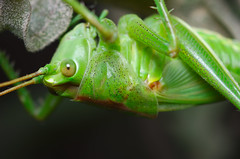 Green grasshopper (Capturedbyhunter) Tags: fernando caçador marques fajarda coruche ribatejo santarém portugal pentax k5 smc fa 100mm f28 macro grasshopper gafanhoto nature natureza manual focus focagem foco verde green