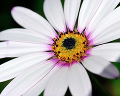 D3S_9126-adj-sm (bobdysart14) Tags: gardenflower garden osteospermum flower