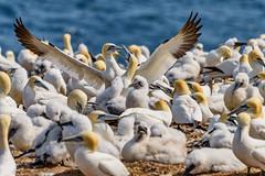 Gannet Reunion (David Hamments) Tags: gaspe gannetcolony quebec bonaventureisland perce