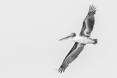 MAPS 2019 from SOTW (jakelevenson) Tags: chesapeakebay maps maryland songofthewhale usa brownpelican pelican