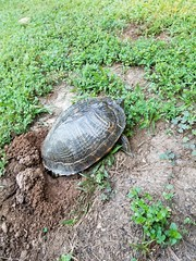 05/23/19 (Mandy_moon) Tags: 2019 turtle cooter project365