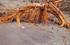 Orange Roots (peterkelly) Tags: digital canon 6d northamerica pointpeleenationalpark ontario canada eastbeach orange roots sandy sand beach greatlakes lakeerie