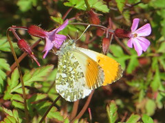 Orange Tip Colours (river crane sanctuary) Tags: orangetip butterfly rivercranesanctuary wildlife nature insect
