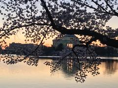 IMG_3987 (francesxcabrini) Tags: cherry blossoms cherryblossoms washingtondc flowers sunrise jeffersonmemorial washingtonmonument tidalbasin