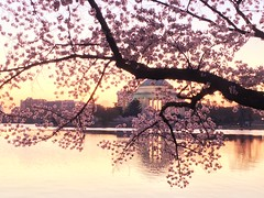 IMG_3989-2 (francesxcabrini) Tags: cherry blossoms cherryblossoms washingtondc flowers sunrise jeffersonmemorial washingtonmonument tidalbasin