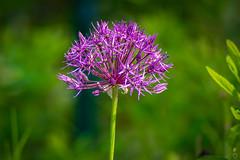 Allum 1 (beginner17) Tags: allum zierlauch pentacon 200mm blende4 bokeh garten blüte lila grün sonyalpha a7ii