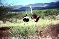 78-017 (ndpa / s. lundeen, archivist) Tags: nick dewolf color photograph photographbynickdewolf 1976 1970s film 35mm 77 reel77 africa northernafrica northeastafrica african ethiopia ethiopian centralethiopia southwesternethiopia southernethiopia bird ostrich run running landscape terain birds ostriches hills mountains