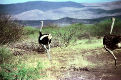 78-016 (ndpa / s. lundeen, archivist) Tags: nick dewolf color photograph photographbynickdewolf 1976 1970s film 35mm 77 reel77 africa northernafrica northeastafrica african ethiopia ethiopian centralethiopia southwesternethiopia southernethiopia bird ostrich run running landscape terain birds ostriches hills mountains