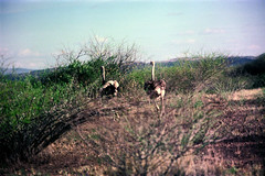 78-009 (ndpa / s. lundeen, archivist) Tags: nick dewolf color photograph photographbynickdewolf 1976 1970s film 35mm 77 reel77 africa northernafrica northeastafrica african ethiopia ethiopian centralethiopia southwesternethiopia southernethiopia bird ostrich run running landscape terain sky bluesky hills mountains brush thicket