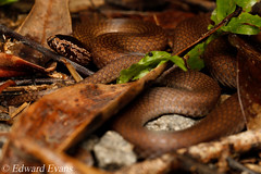 Northern dwarf crowned snake (Cacophis churchilli) (edward.evans) Tags: crownedsnake crowned northerncrownedsnake cacophis churchilli northerndwarfcrownedsnake cacophischurchilli elapidae elapid venom venomous snake reptile herp herping cairns farnorthqueensland queensland australia fnq