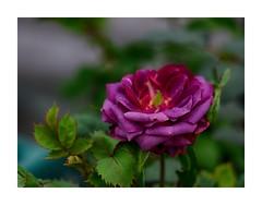 blue touch of purple (BeMo52) Tags: blume flora garten natur nature pflanzen rose rosebreeding rosenzucht sämling seedling