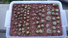 Cactus seedlings, just-repotted (armen.cactus) Tags: cactus succulent seedlings