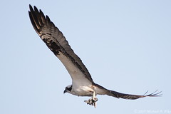 Osprey with two fish (Michael Pike) Tags: osprey pandion haliaetus raptor hawk wildlife predator prey dalles oregon