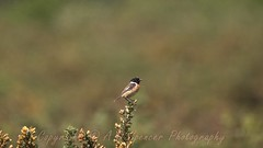 Stonechat (andrewspencer1961) Tags: wild life birds outdoors outside wallpaper