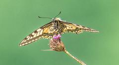 Papilio machaon (Torok_Bea) Tags: papiliomachaon beautiful butterfly wonderful wild wildanimal nikon nikond7200 natur nature nationalpark amazing awesome lovenatur lepke lovely lepidoptera pillangó best tamron fecskefarkulepke