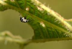 Weevil (Craig Tuggy) Tags: thailand kao yai macro insect weevil nature tokina