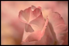 Ella era fría y bastante complicada... (Elena m.d. +10.3 Millions views.) Tags: macromondays sigma sigma105 nikon d5600 new days 7dwf 2019 flowers printemps