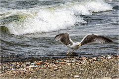 the take-off ... (miriam ulivi - OFF/ON) Tags: miriamulivi nikond7200 liguria sestrilevante spiaggia beach gabbiano seagull nature mare sea onda wave