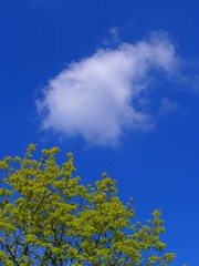 Tree Cloud and Blue Sky (cycle.nut66) Tags: tree sky cloud blue green white leaves sunlight sunny day