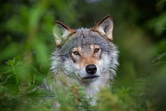 Posing wolf (CecilieSonstebyPhotography) Tags: portrait beautiful closeup canon nose eyes wolf bokeh ears frame gaze wolves snout langedrag markiii ef100400mmf4556lisusm canon5dmarkiii scandinaviangraywolf specanimal ngc