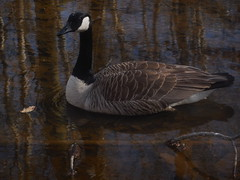 DSCN9621 (tombrewster6154) Tags: duck swimming water pond bog garden greensboro northcarolina late march 2019 early spring tuesday mmxix afternoon picture digital camera photography stick submerged mud feathers beek mouth dark eye