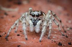 Zebra Spider [lat. salticus scenicus] (Robert Körner) Tags: nikon elnikkor el nikkor 128 28 50mm 50 mm vergröserungsobjektiv m39 springspinne spinne supermacro extreme macro d7000 makro jumpingspider salticus scenicus