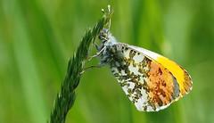 Orange Tip (Anthocharis cardamines) male.... (festoon1) Tags: butterfly orangetip anthochariscardamines lincolnshire male