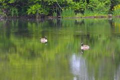 Peaceful Morning (Neal D) Tags: bc chilliwack greatblueheronnaturereserve bird goose canadagoose pond