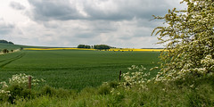 Yellow ribbon (Keith now in Wiltshire) Tags: landscape farming cereal oilseedrape cowparsley grass hawthorn shrub tree fence tracks sky roundwaydown devizes wiltshire