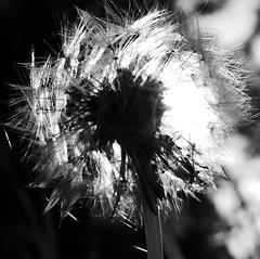 PusteBlume s-w (four-hearts) Tags: pusteblume schwarzweis pflanze blume licht natur löwenzahn frühjahr frühling
