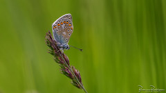 Common Blue (Polyommatus icarus) (BraCom (Bram)) Tags: 169 bracom bramvanbroekhoven depthoffield dof goereeoverflakkee holland icarusblauwtje icarusblauwtjepolyommatusicarus insect nederland netherlands polyommatusicarus sigma150mmf28macro southholland zuidholland bokeh butterfly commonblue gras grass macro nature natuur scherptediepte vlinder widescreen dirksland nl