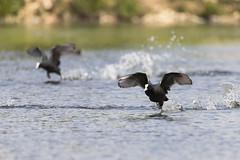Fast & Furious (bboozoo) Tags: foulque coot oiseau bird nature animal wildlife eau water lake lac canon6dmarkii tamron150600