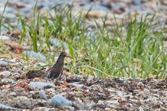 Male Ruff (Calidris pugnax) in breeding plumage among the kelp - Hartlen Point Nova Scotia (internat) Tags: 2019 canada novascotia ns easternpassage hartlenpoint ruff calidrispugnax bird birds canon100400 eosm5 luminar
