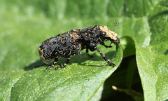 Platyrhinus resinosus (jon. moore) Tags: colnevalley greaterlondon platyrhinusresinosus scarcefungusweevil anthribidae coleoptera