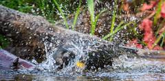 Starling-16 (ianrobertcole1971) Tags: bird garden bathing splash reflection passerine nikon d7200 300mm f4 pf ed starling