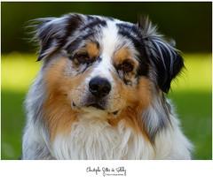 Mon chien Mac (CGDP) Tags: cgdp nikonz7 bergeraustralien aussie australianshepherd pixeliste chien toutou portrait dog iamnikon ngc mac