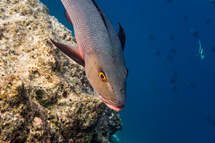 Two-spot Red Snapper (davee10101) Tags: 2018 fish kandholhu lutjanusbohar maldives northariatoll twospotredsnapper kandholhudhoo