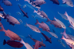 School's Out (davee10101) Tags: 2018 fish highfinrudderfish humpbackredsnapper kandholhu maldives northariatoll reefbannerfish shoal vlamingsunicornfish kandholhudhoo