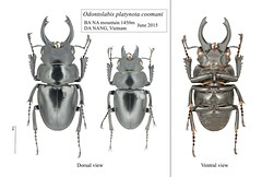 Odontolabis platynota coomani (Drizzle Yu) Tags: coleoptera odontolabis lucanidae stagbeetle beetle stag insect 甲虫 昆虫 锹形虫 鬼艳锹形虫 鍬形蟲 越南