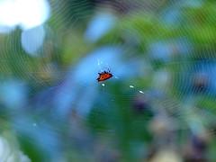 Color Wheel (Kaptured by Kala) Tags: gasteracanthacancriformis spinybackedorbweaver spider orbweaver web spiderweb orb arachnid smileyface whiterocklake dallastexas sunsetbay orangeblackspinybackedorbweaver