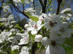 """""""If we remind ourselves to """"expect good things,"""" we're more apt to consciously look for them (eg.  the sunshine, the flowers blooming)."""" (Trinimusic2008 -blessings) Tags: trinimusic2008 judymeikle nature blossoms flowers spring may 2019 walk today humberbaypark waterfrontrecreationaltrail asharedpath public path community gratitude sunshine thanks happiness smiles blueskies toronto to ontario canada"""