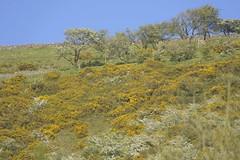 MayHillside (Tony Tooth) Tags: nikon d600 tamron 500mm mirrorlens catadioptric reflex hillside may spring gorse furze ectonhill ecton staffs staffordshire staffordshiremoorlands england