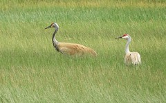 Sandhill Cranes in the Sierra Valley. (Ruby 2417) Tags: crane gray bird wildlife nature marsh grass wetlands sierra valley nevada mountain